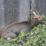 駿河区の鹿さん 仕留められる
